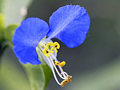 asiatic_dayflower_1