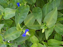 asiatic_dayflower_2