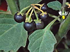 black_nightshade_1
