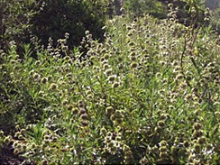 wild black sage forage 1