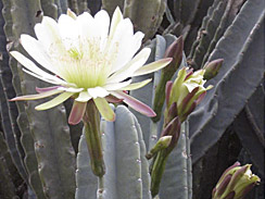 cereus forage 3