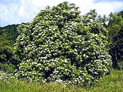 elderflower forage 3