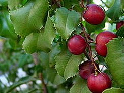 hollyleaf cherry forage 3