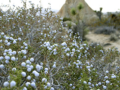 juniper forage 1