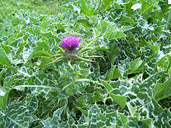 milk thistle forage 1