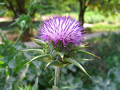 milk thistle forage 2
