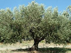olives forage 3