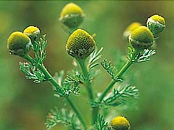 pineapple weed forage 1