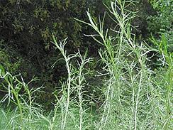 california sagebrush 1