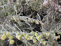 california sagebrush 2