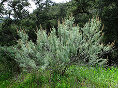 california sagebrush 3