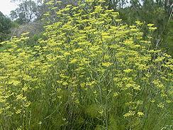 fennel forage 1