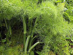 fennel forage 2