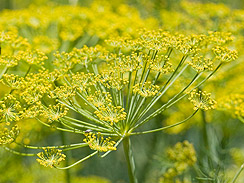 fennel forage 3