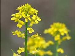 wild mustard forage 2