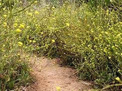 wild mustard forage 3